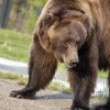 Photo of the Day – Bear in Yellowstone National Park