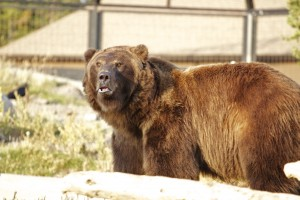 Grizzly Bear, Grizzly Center, West Yellowstone