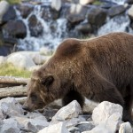 Grizzly Bear, Eating, Yellowstone Park