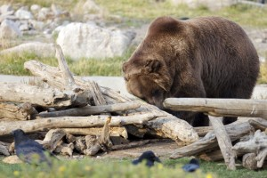 Grizzly Bear, Yellowstone Park