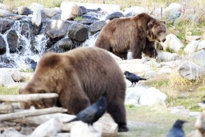Grizzly Bears, Yellowstone Park