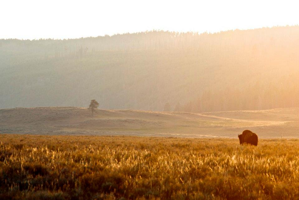 Buffalo Sunset in Montana